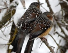 Giant laughingthrushes look for food amid snowfall in NW China